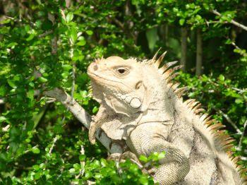 Land wildlife - Iguana