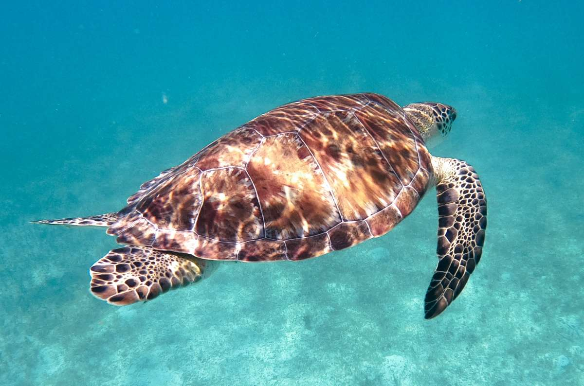 Swim with sea turtles - photo by Cpt. Keith