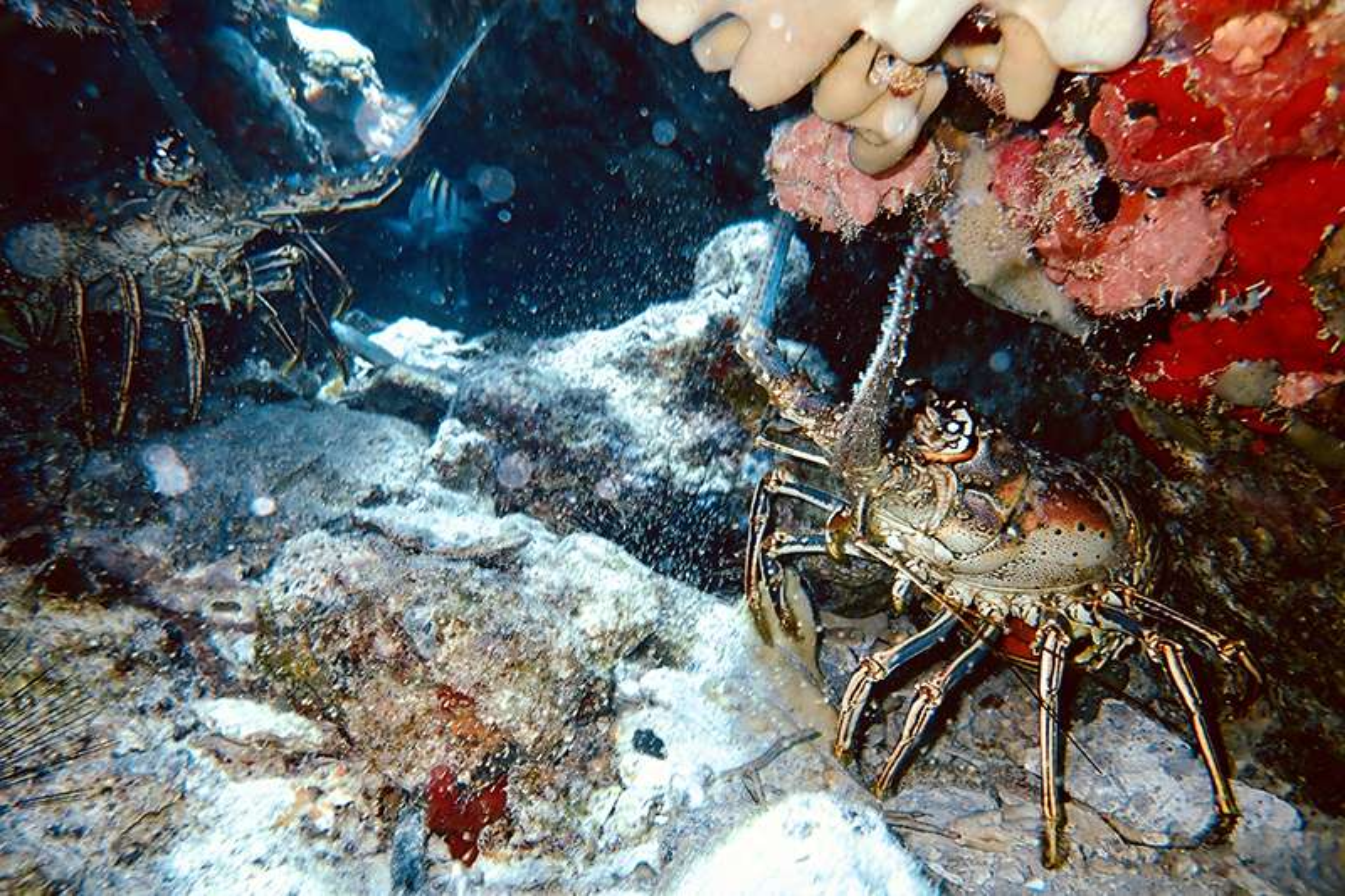 Cruising crustaceans