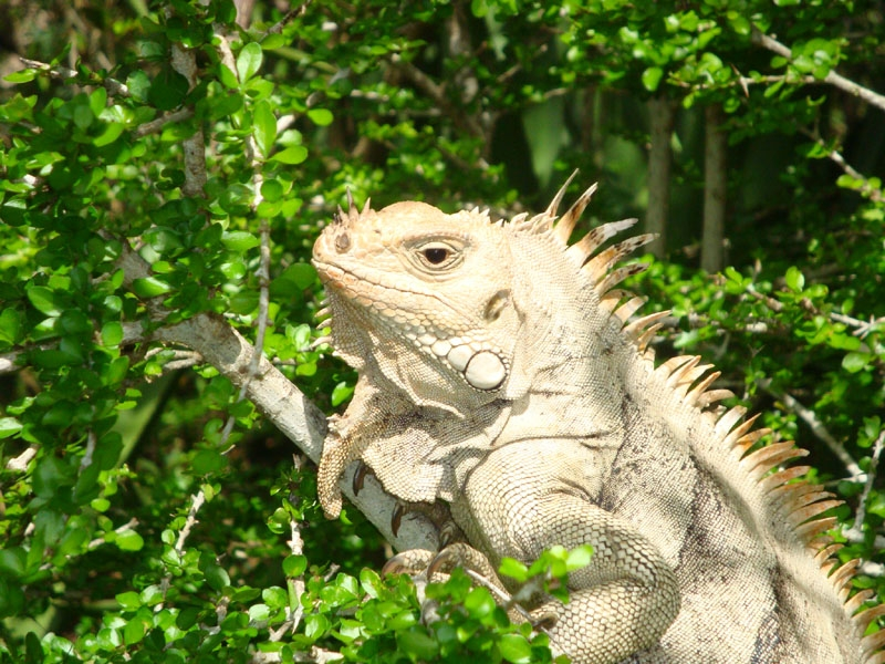 Land wildlife - Iguana