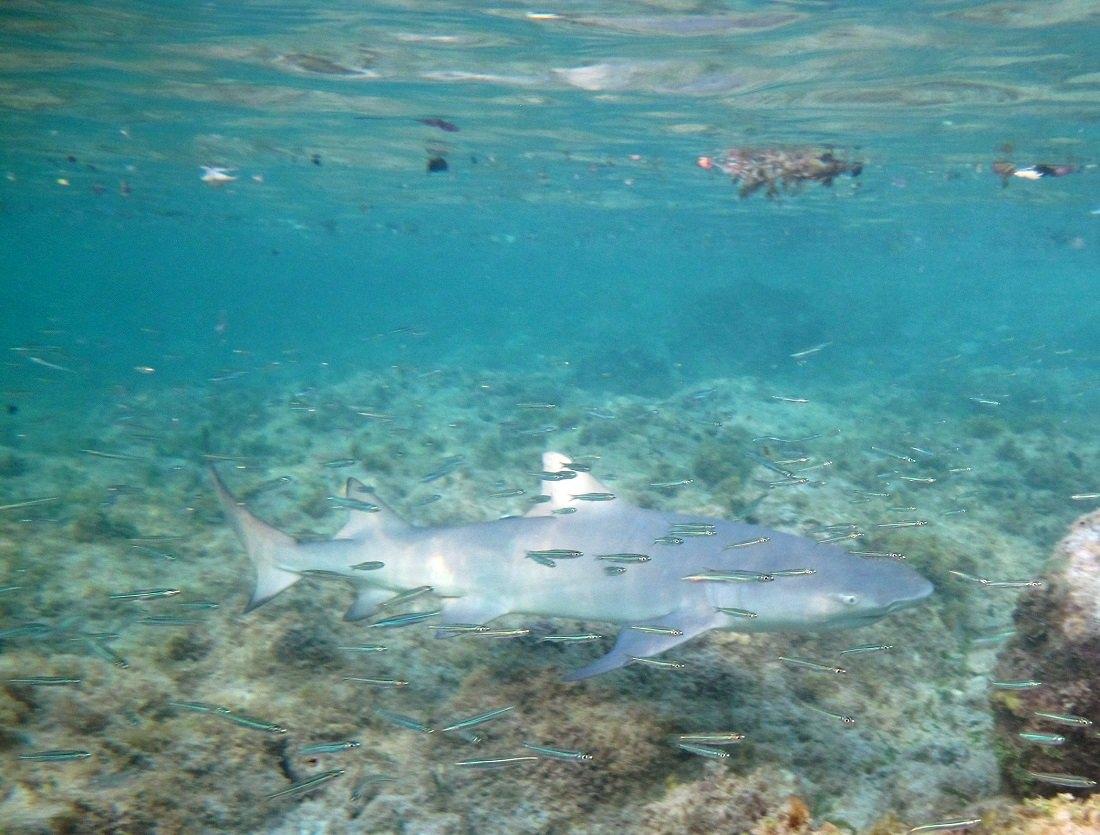 Smiley the Caribbean Reef Shark