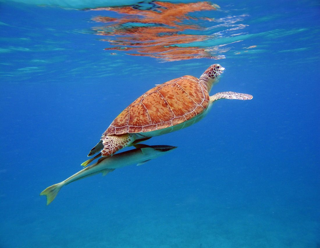 Turtle with Ramora underneath