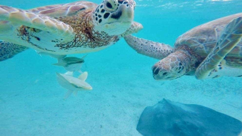 Green Sea Turtles at Farmers Cay